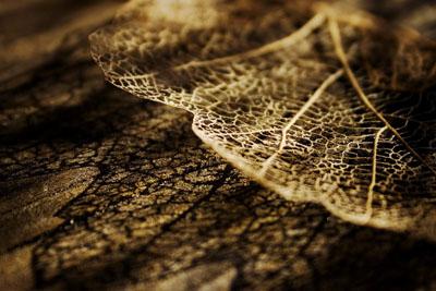 The Life of a Leaf - Leaf Skeleton